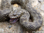 Couleuvre - Male Grass Snake (1 year)