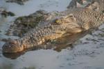 crocodil - Male Crocodile (13 years)