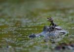 Yupie - Male Crocodile (1 month)