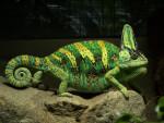 Crocoquette - Crocodile (1 year)