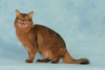 Un chat Somali miaule sur un fond bleu