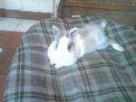 Melodie - Dwarf rabbit (5 years)