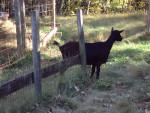 Adinia - Goat (3 years)