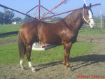 cachanilla - Male Horse (7 years)