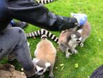 lemurs - Lemur