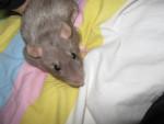 Gribouille - Rat (2 months)