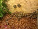 mes trois pythons -