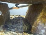 Slowpoke - Male (1 year)