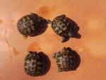 Nos 4 bébés tortues - (1 month)