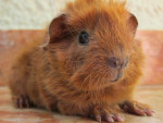 Kenay - Male Rough coated Guinea pig (2 months)